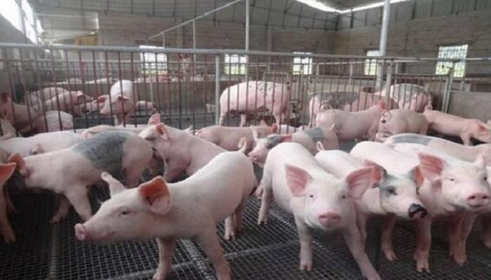 """粤""""新政""""提振猪农养殖积极性 行业或可借机转型升级"""